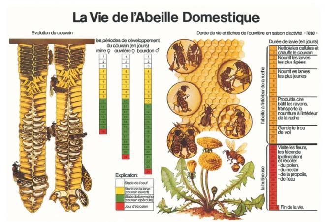 Comment vivent les abeilles - Comment se debarrasser des abeilles dans une cheminee ...